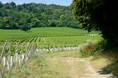 picture of dork  - Vineyard and woodland on North Downs - JPG