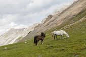 stock photo of colt  - photo of horses and colt grazing on alpine meadows - JPG