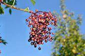 stock photo of elderberry  - Unripe fruits of elderberry on blue sky background  - JPG