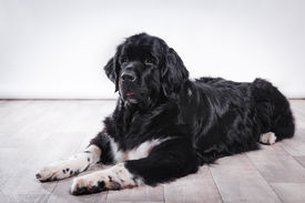 foto of newfoundland puppy  - adult Newfoundland in studio by the fireplace - JPG