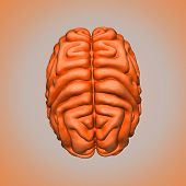 image of thalamus  - The human brain has the same general structure as the brains of other mammals - JPG