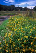 stock photo of winnebago  - Beautiful yellow flowers at Rock Cut State Park in northern Illinois - JPG