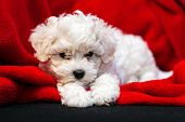 pic of irresistible  - cute small bichon frise puppy posing indoors notice shallow depth of field - JPG