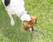 picture of garden snake  - A beagle dog sniffs at a dead garter snake  - JPG