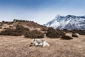 stock photo of yaks  - Yak and mountains on background Everest region Himalaya - JPG