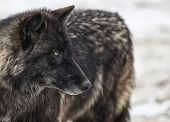 stock photo of timber  - Close up image of a gray wolf - JPG
