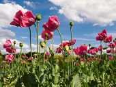 picture of opium  - Close up of pink opium poppies in full blossom - JPG