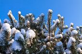stock photo of conifers  - Conifer in winter with snow and blue sky - JPG