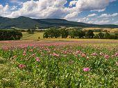 image of opium  - Pink Opium Poppy field in a rural landscape Germany - JPG