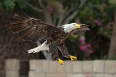 picture of fish-eagle  - Bald Eagle spreads its wings in flight - JPG