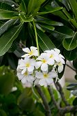 stock photo of frangipani  - white and yellow frangipani flowers with leaves in background - JPG