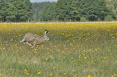 image of hare  - Hare running across the fields and meadows - JPG