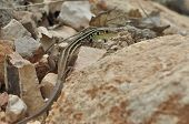 foto of lizard skin  - Lizard basking in the sun - JPG
