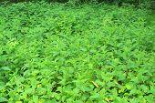 pic of nettle  - Nettle full of in the summer forest - JPG