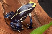 picture of rainforest animal  - poison dart frog yellow back dendrobates tinctorius in the Amazon rainforest this poisonous animal lives from tropical rain forest of Brazil suriname and French guyana - JPG