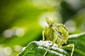 pic of creepy crawlies  - a praying mantis  - JPG