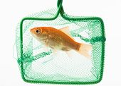 picture of goldfish  - trapped goldfish isolated on a white background - JPG