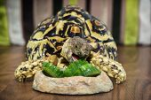 image of carapace  - Leopard tortoise  - JPG