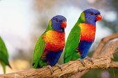 pic of lorikeets  - two Rainbow Lorikeet the preen each other - JPG