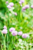 image of chive  - pink flowers of chives herb close up on green summer meadow - JPG
