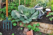 foto of water cabbage  - Green cabbage in vegetable patch with watering can and spade - JPG