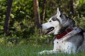 stock photo of husky  - Siberian Husky lies in the shade - JPG