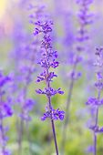 picture of salvia  - Beautiful flower background with Salvia farinacea Benth soft focus - JPG