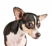 stock photo of scared baby  -  a cute rat terrier chihuahua mix looking scared isolated on a white background studio shot looking at the camera  - JPG