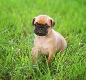 picture of chug  - a cute baby pug chihuahua mix puppy playing in the grassy clover during summer - JPG