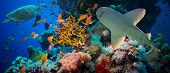 pic of fire coral  - Tropical Anthias fish with net fire corals and shark on Red Sea reef underwater - JPG
