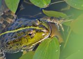 picture of amphibious  - A green frog - JPG