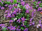 pic of primrose  - Flowers primrose Julia  - JPG