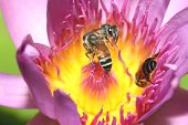 Постер, плакат: Bee On A Lotus