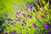 picture of wildflowers  - Blossom Purple Wildflowers Closeup Photo - JPG