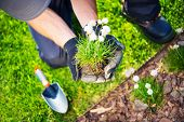 picture of small-flower  - Gardener Replanting Small Flowers - JPG