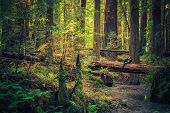 picture of redwood forest  - Tourist Resting on the Redwood Fallen Tree and Enjoying Redwood Forest Scenery During Sunset - JPG