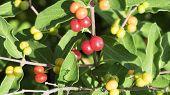 pic of honeysuckle  - Privet Shrubbery Berries - JPG