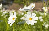 stock photo of cosmos flowers  - Cosmos flowers in the central park of natural light - JPG