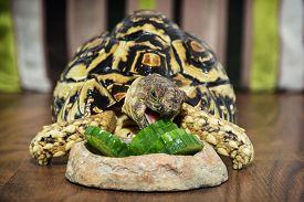 stock photo of herbivore animal  - Leopard tortoise  - JPG