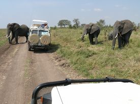 pic of four-wheel  - Four elephants are about to cross gravel road in the Serengeti where two safari vehicles are standing as the tourists are taking photographs of the elephants - JPG