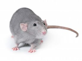 image of rats  - Gray domestic rat isolated on white background - JPG