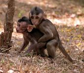 foto of baby spider  - Baby monkeys looking for their mother in Cambodia Asia - JPG