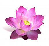Постер, плакат: Розовый Лотос цветок
