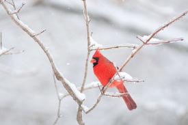 stock photo of cardinal-bird  - Northern cardinal sitting on an ice covered branch following winter storm - JPG