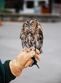 foto of screech-owl  - Little brown screech owl sitting on gloved hand - JPG