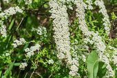 Close Up Of Bush With White Small Flowers. Blooming Decorative Bush In The Garden. poster