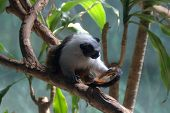 Pied Tamarin Saguinus Bicolor Monkey On A Tree Branch Black And White Fur poster