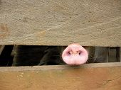 image of snot  - Pig snot protruding from between slats in pig pen - JPG