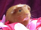 Curious Cavy In Rose Petals poster