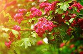 Spring Flower Background. Closeup Of Spring Hawthorn Tree Pink Flowers, In Latin Crataegus - Colorfu poster